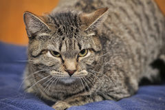 kota gniewny tabby Obrazy Stock