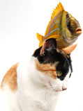 kota goldfish zdjęcia royalty free