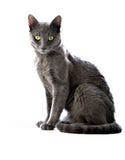 kota grey Zdjęcia Royalty Free