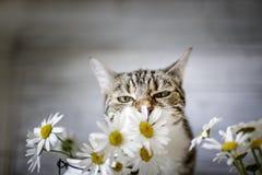 Kota i stokrotki kwiaty obraz royalty free
