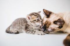 kota ilustracyjny figlarki wektor Zdjęcia Stock