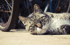 kota kierowniczy zakończenie Zdjęcia Royalty Free
