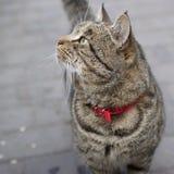 kota kołnierza czerwień Fotografia Royalty Free