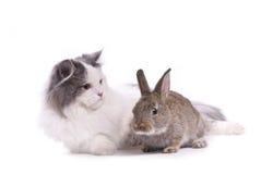 kota królik Zdjęcia Royalty Free