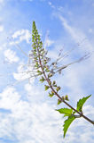kota kwiatu zielarski s bokobrody biel obraz stock