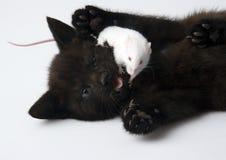 kota myszy white Obraz Royalty Free