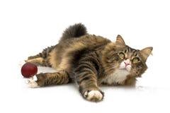 kota norwegu bawić się Obrazy Royalty Free
