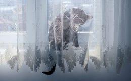 Kota obsiadanie na okno za zasłoną Obraz Stock