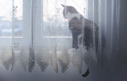 Kota obsiadanie na okno za zasłoną Fotografia Royalty Free