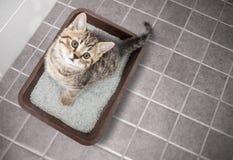 Kota odgórnego widoku obsiadanie w ściółki pudełku z piaskiem na łazienki podłoga Obraz Stock