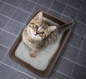 Kota odgórnego widoku obsiadanie w ściółki pudełku z piaskiem na dachówkowej podłoga Obrazy Stock