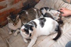Kota ojciec i matka kot z figlark?, uliczni koty fotografia stock