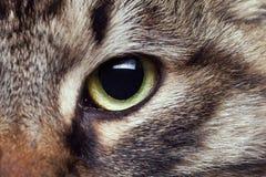 Kota oko w zakończeniu w górę fotografii Obraz Stock