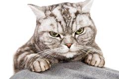 kota piękny brytyjski shorthair obrazy stock