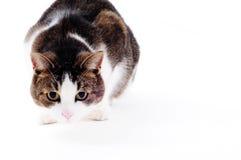 kota polowanie przygotowywający studio Obraz Royalty Free