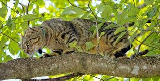 Kota polowanie w drzewie Zdjęcia Royalty Free