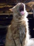 kota poziewanie Obraz Royalty Free