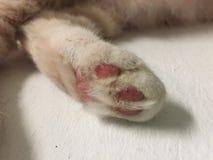 kota ` s łapa Beżowa kota ` s łapa z różowymi palec u nogi zdjęcie stock