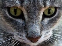 Kota ` s twarz z oczami jako mysz Pojęcie polowanie dla myszy Makro- fotografia royalty free
