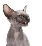 kota sfinks Zdjęcie Stock