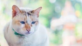 kota siamese śliczny Zdjęcia Royalty Free