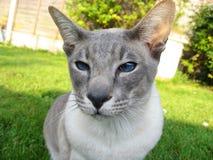 kota siamese przyglądający ty Zdjęcie Stock
