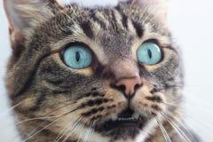 kota siberian Zdjęcia Royalty Free