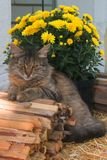 Kota siedzący outside Domowy kot outdoors Obrazy Stock