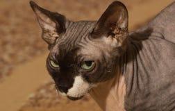 (1) kota stary sphynx rok Zdjęcia Royalty Free