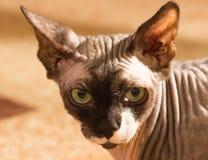 (1) kota stary sphynx rok Zdjęcia Stock
