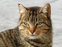 kota tabby Zdjęcie Stock