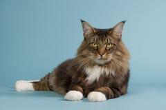 kota tabby lasowy norweski Obraz Stock