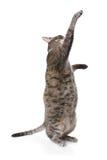 kota tabby otyły figlarnie Obrazy Royalty Free
