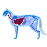 Kota Thorax, płuc anatomia/- Felis Catus anatomia Obrazy Stock