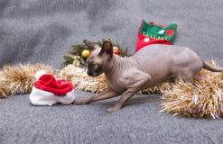 Kota traken, kanadyjczyk Sphynx wśród Bożenarodzeniowego świecidełka, łysy kot, zwierzę domowe zdjęcie stock