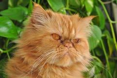 kota twarzy czerwień s Obraz Royalty Free