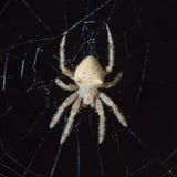 kota twarzy pająk Obraz Royalty Free
