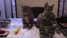 Kota właściciel bawić się z puszystymi figlarkami, wystawa drogi kot hoduje zbiory wideo