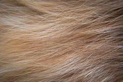 Kota włosy Obraz Royalty Free