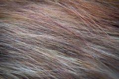 Kota włosy Zdjęcie Royalty Free