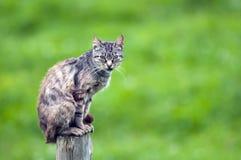 kota wierzchołek Obrazy Stock