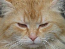Kota zamknięty up protrait Beżowy tomcat z żółtymi złocistymi oczami Szczegół kot twarz obraz stock