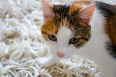 kota zwierzęcia domowego cukierki Obrazy Stock