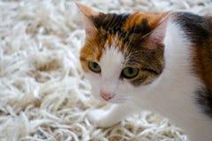 kota zwierzęcia domowego cukierki Zdjęcie Stock