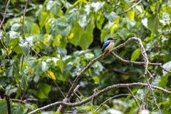 Kotare или священная птица Kingfisher на ветви дерева Стоковая Фотография