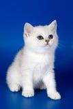 kotek brytyjskiej obraz royalty free