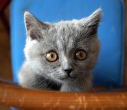 kotek brytyjskiej Fotografia Royalty Free