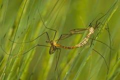 Kotelni dragonflies zdjęcie royalty free