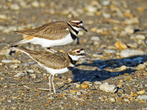 Kotelni Killdeer Obrazy Royalty Free