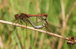 Kotelni para Pospolity Wężowy Dragonfly Sympetrum striolatum umieszczał na płosze Fotografia Stock
